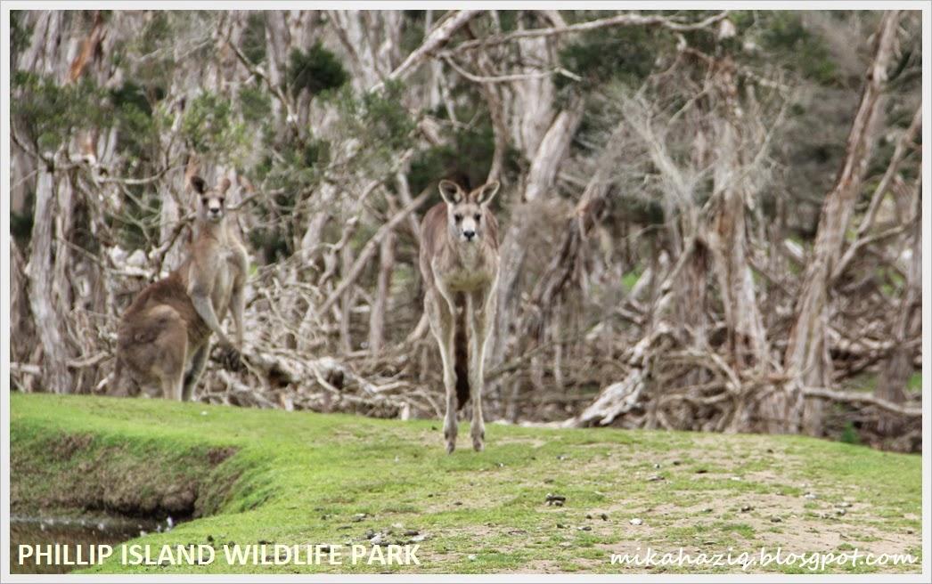 mana boleh kasi makan kangaroo di melbourne