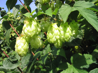 Hops (Humulus Lupulus) Overview, Health Benefits, Side effects