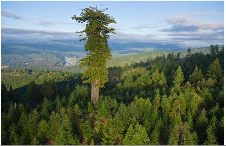 Rekor pohon tertinggi dunia yang semula dipegang sebuah pohon redwood