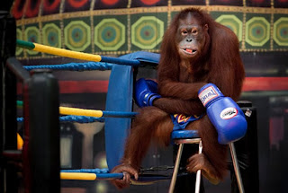 Olahraga Tinju Orangutan Di Thailand [ www.BlogApaAja.com ]