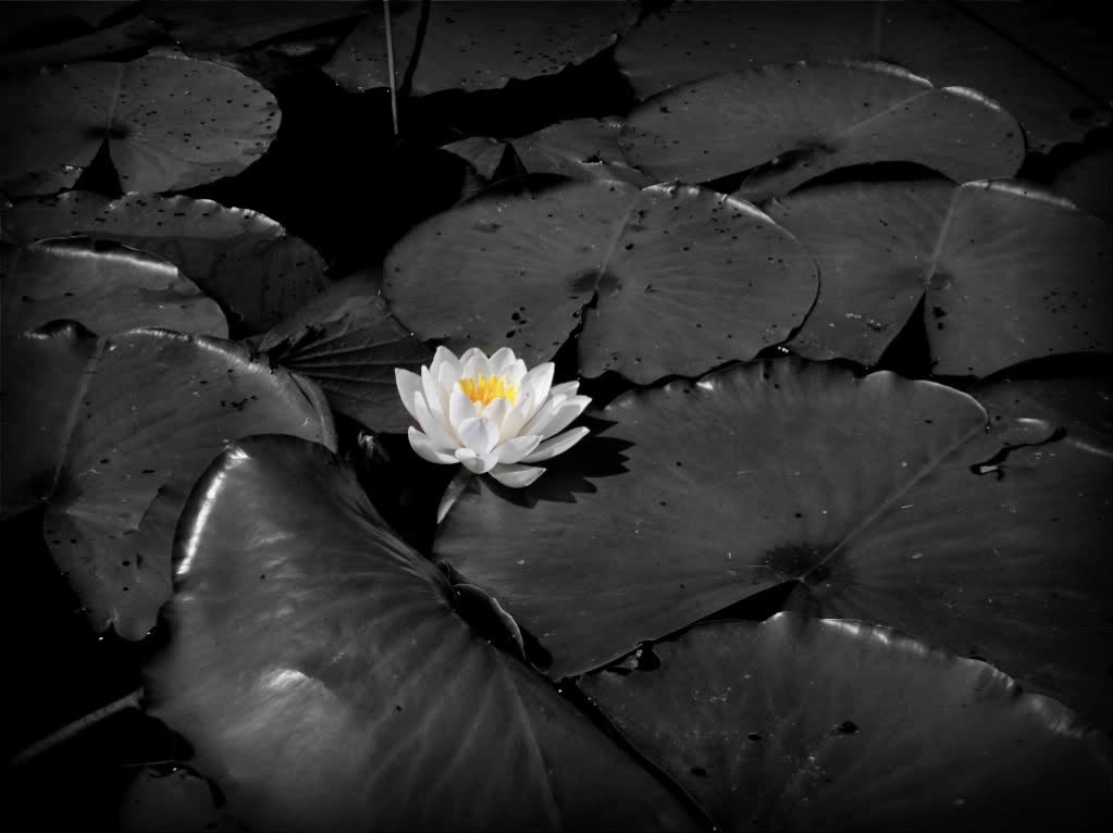 Water lily flower gallery