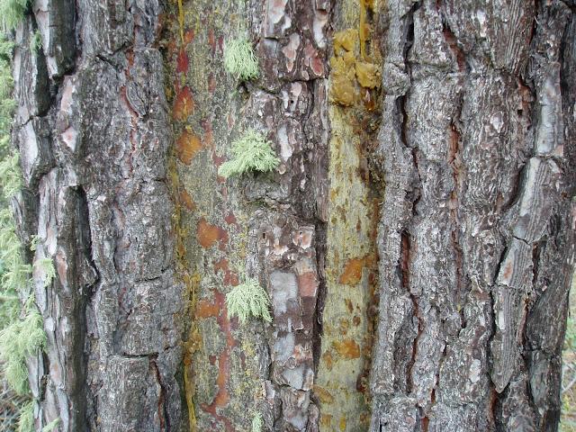 Corteza o roña de PINO RESINERO: Pinus pinaster