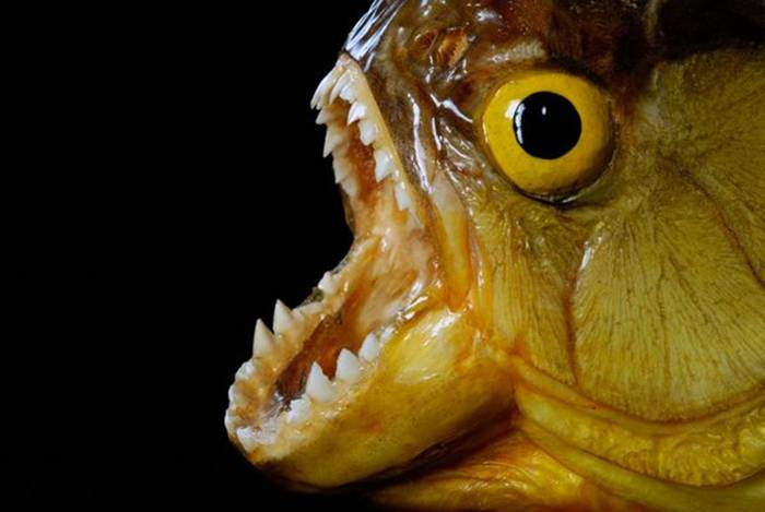 Notorious for their sharp teeth and voracious appetites, piranhas inhabit several of the major river basins in South America. These omnivorous fish are known for their taste for meat, although attacks on human beings are quite rare, despite breathless accounts from early explorers.