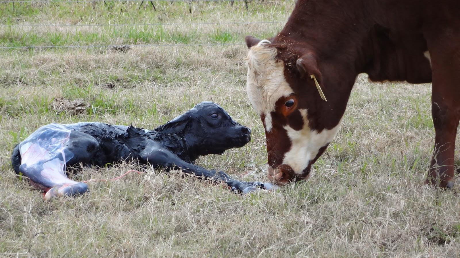 Cows giving birth - photo#14