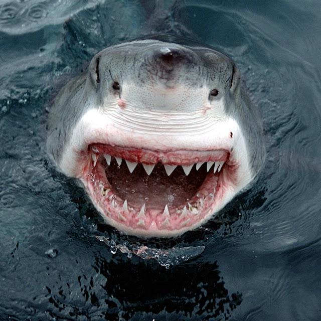 Hvid haj, der viser tænder med et stort smil/grin