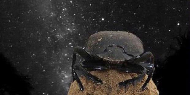 Kumbang Tinja Pakai Bimasakti sebagai Kompas