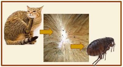 Gb. Cara Menghilangkan Kutu Kucing Di Rumah