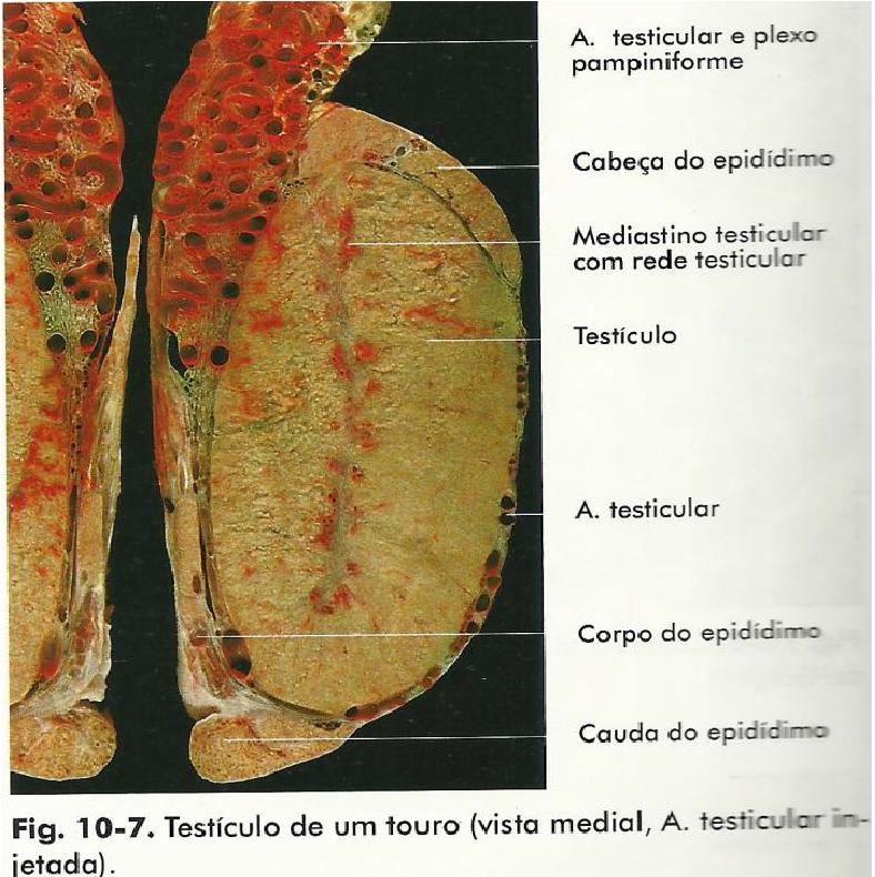 Perfecto Anatomía Del Testículo Y El Epidídimo Ideas - Imágenes de ...