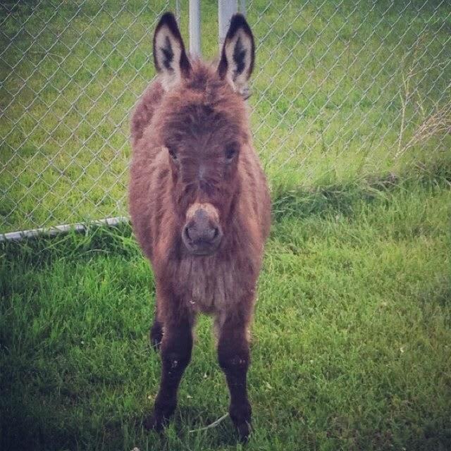 Baby miniature donkey