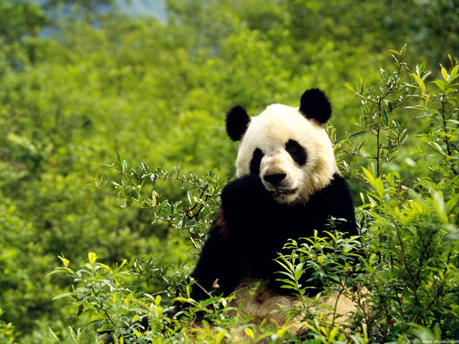 http://1.bp.blogspot.com/-KxgSBkRbilI/Tq0FEBMRefI/AAAAAAAABc8/rg3rkyzDJqI/s1600/panda-strong-bamboo-wallpaper.jpg