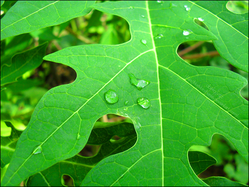 khasiat daun pepaya bagi kesehatan obati jerawat wanita