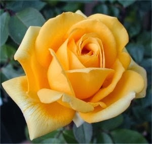 Regalar rosas amarillas que significado tiene