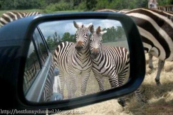 Two funny zebras.