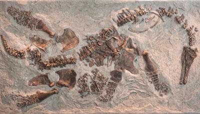 Polycotylus fossil