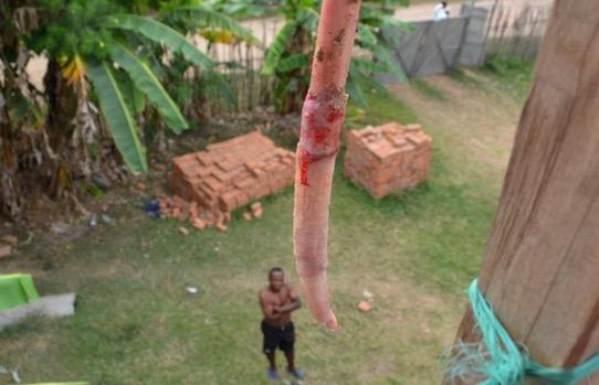 Senjata Zakar Lembu Orang Asli di Kepulauan Madagascar