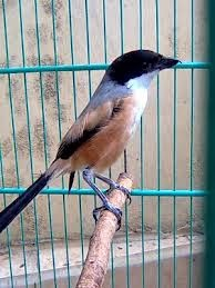 cara merawat pentet,cara merawat cendet, cara merawat burung pentet, cara merawat burung cendet, cara merawat pentet lomba, pentet anak,pentet bakalan, pentet liar