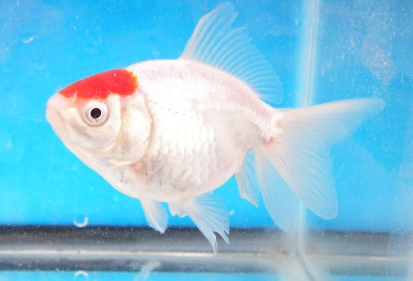 Tanch%2Bsingle%2Btail%2BGoldfish1.JPG