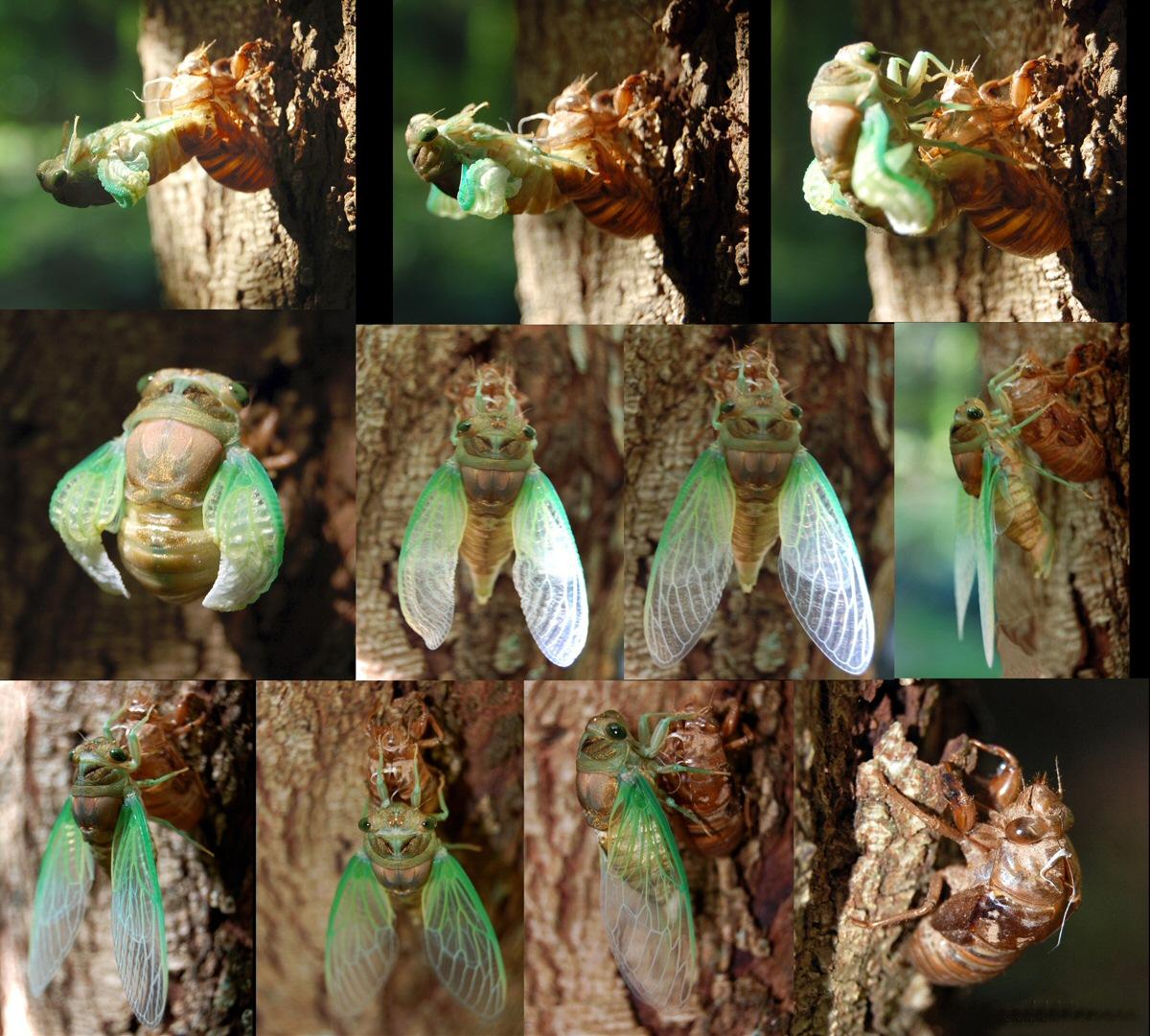 Cicada: sarı yapraklar, bitkiye nasıl yardımcı olur