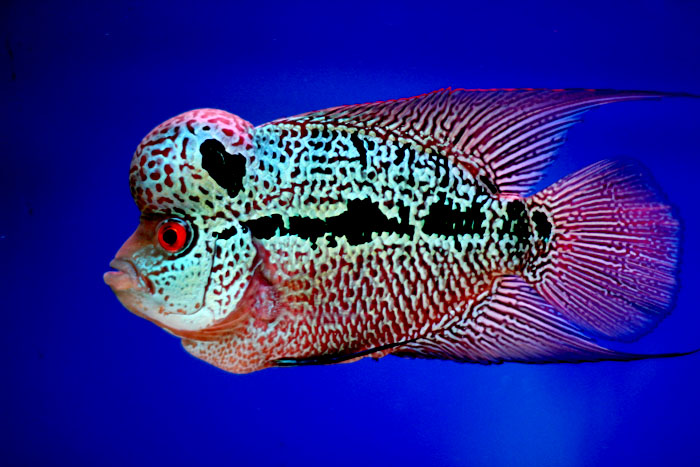 ALL the BEST FLOWERHORN FEEDS in the market. Color ...