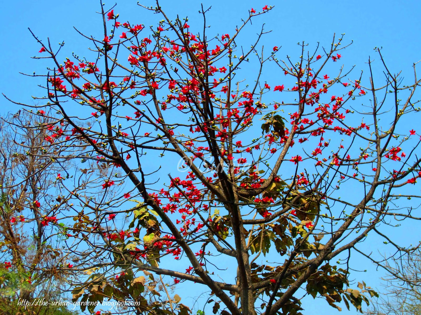 The urban gardener mumbai a time for blooming for Tree with red flowers