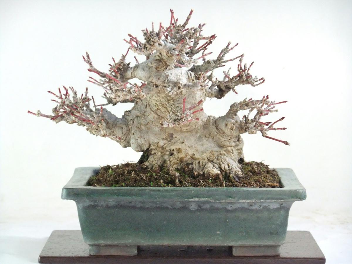 shohin y mini bonsai galeria mini shohin bonsai. Black Bedroom Furniture Sets. Home Design Ideas