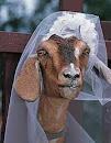 união estável com uma cabra