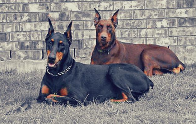 Fabuleux chien de garde et compagnie - chien de garde UM66