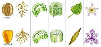 Perbedaan gymnospermae (biji terbuka) dan angiospermae (biji tertutup)