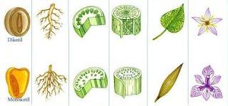 Perbedaan akar, batang, dan bunga pada monokotil dan dikotil
