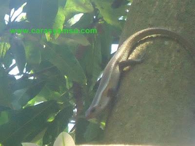 Kadal Turun dari pohon