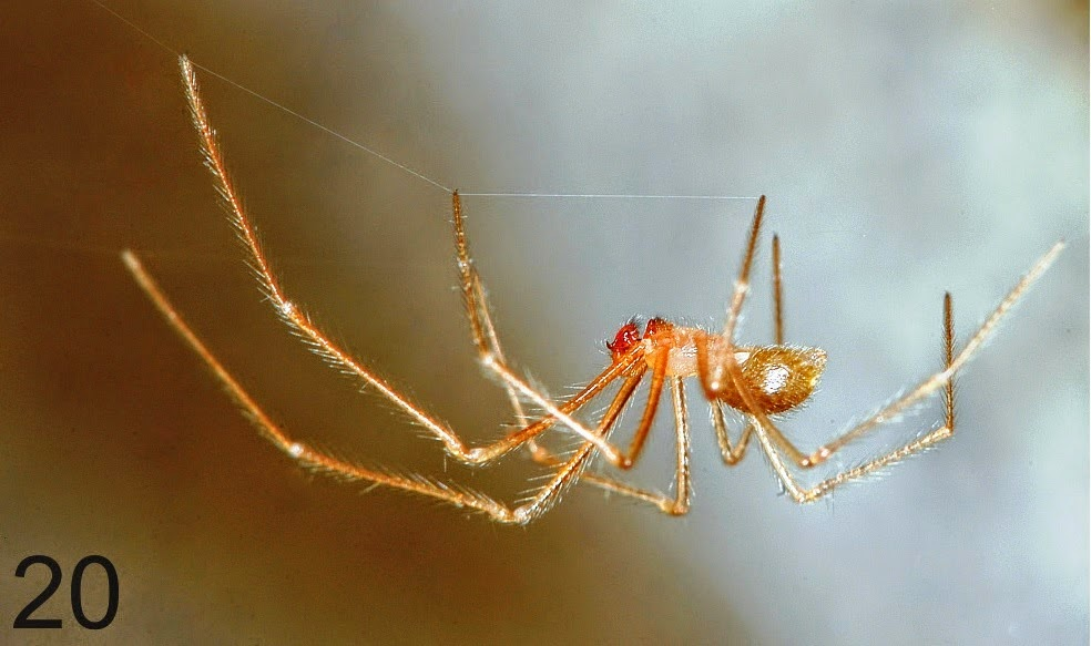 http://sciencythoughts.blogspot.co.uk/2014/07/a-new-species-of-blind-cave-spider-from.html