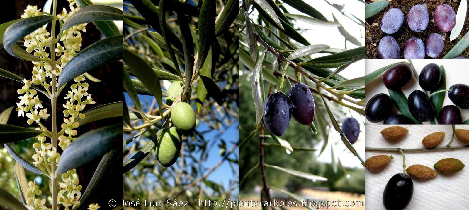 Plantar rboles y arbustos rboles y arbustos for Frutas ornamentales