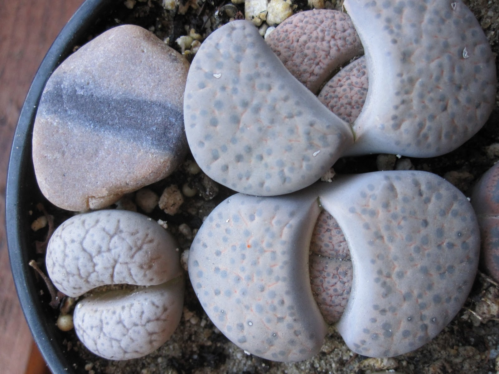 plants that look like rocks. lithops
