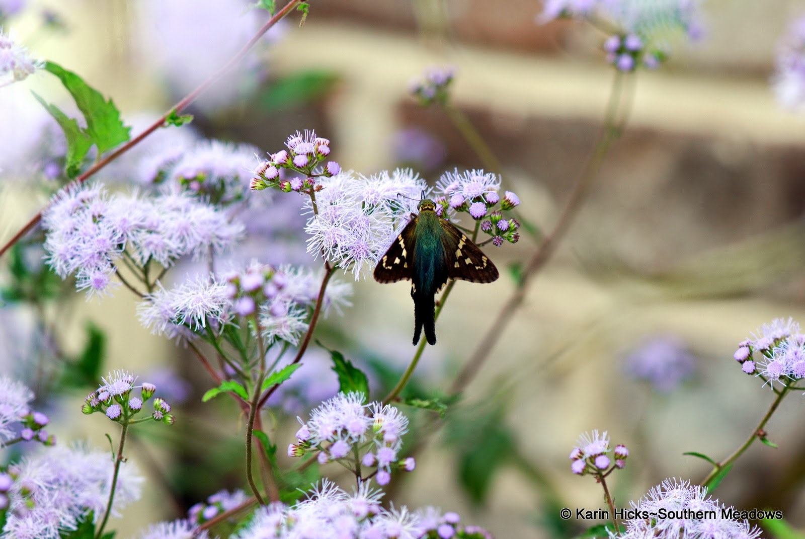Long-tailed skipper on ageratum