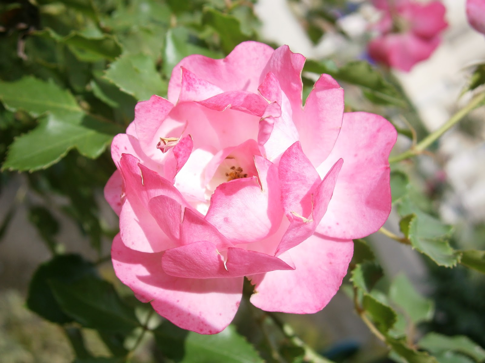 Plantes et fleurs de mon jardin photo d 39 une rose rose - Plante a fleurs roses ...