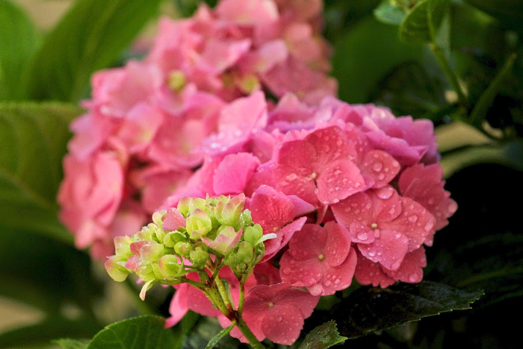 Hydrangeas, shared by The Radish Patch