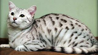 Egyptian_Mau cats
