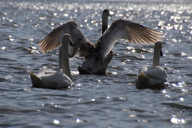 Стая лебедей в Лысьве