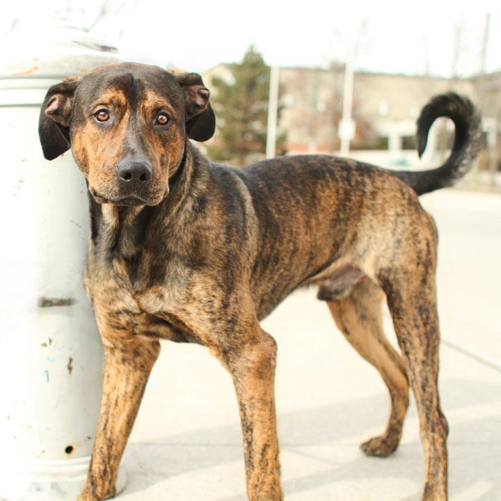 Boxer German Shepherd Mix - Dog Training Home | Dog Types