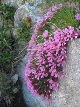 Dianthus glacialis (Garofano dei ghiacciai)