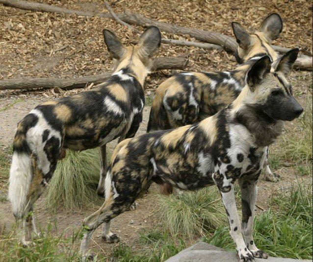 Hyena Like Dog Breed