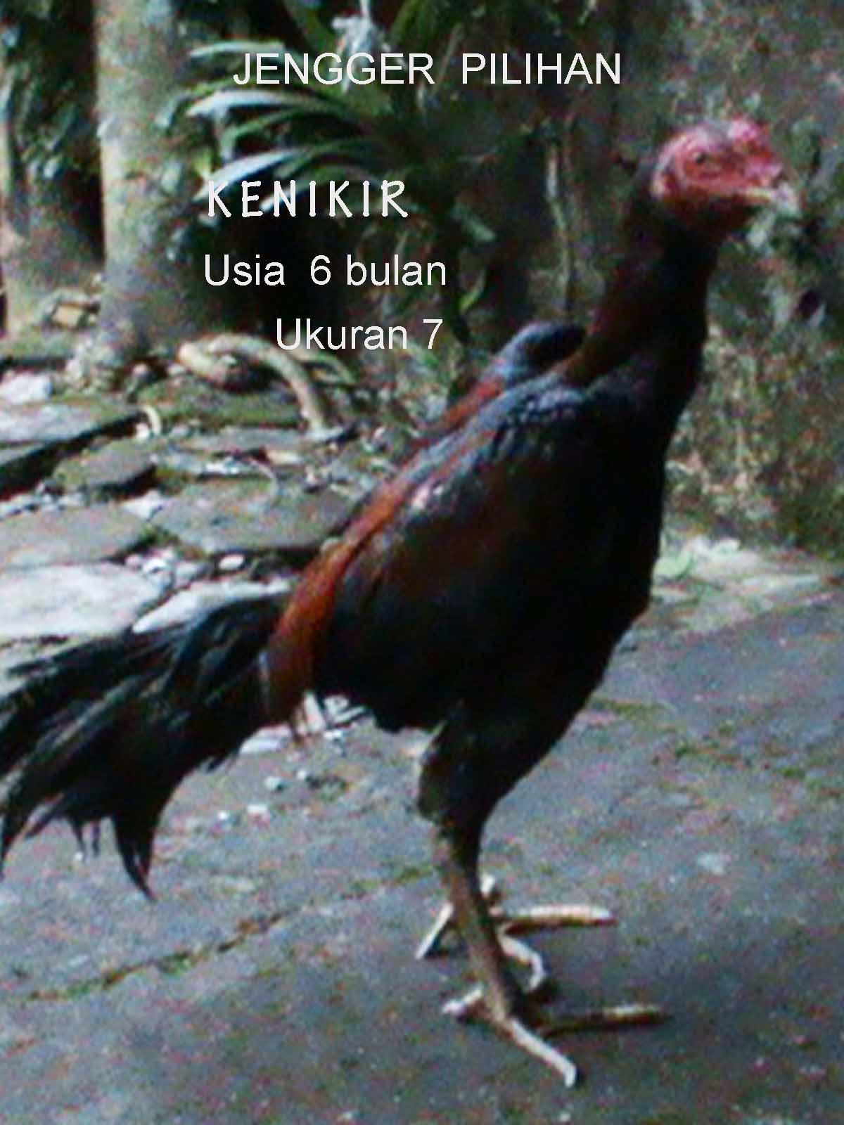 Ayam Bangkok Import Di Yogyakarta   Daily Forex News