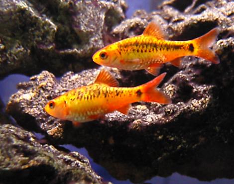Animals unique barb fish for Cherry barb fish