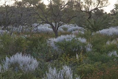 Conospermum boreale