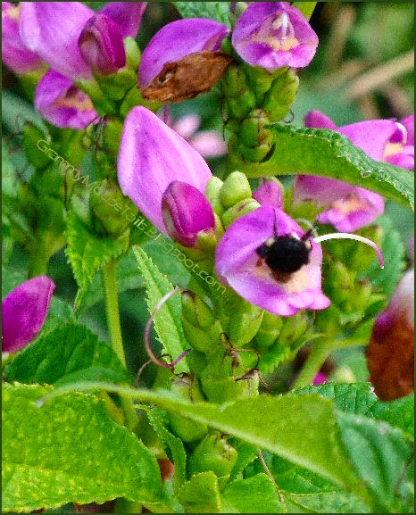 early autumn purple flowers with bee collecting nectar photo image
