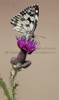 papillon demi-deuil noir et blanc fleur sauvage papillon dans les champs papillon de profil