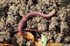 Oligochaeta (Cacing Tanah)