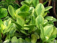http://plantsgallery.blogspot.com/2014/02/peperomia-magnollifolia-variegata.html
