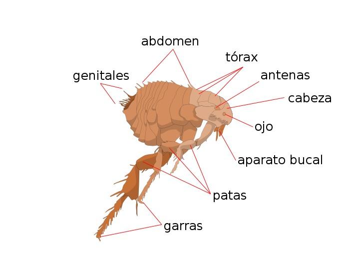 pulgas en humanos