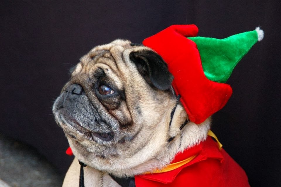 Christmas Pugs Who Really Don't Like You and the Entire World